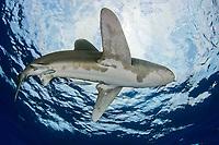 oceanic whitetip shark, Carcharhinus longimanus, open ocean, Hawaii, ( Central Pacific Ocean )
