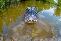 American Alligator Alligator mississippiensis Big Cypress National Preserve, Everglades National Park, Florida, USA