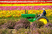 Colorful, giant Tecolote flower fields with an equally colorful tractor, in Carlsbad, near San Diego, Southern California, USA