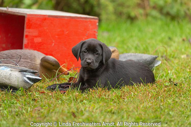 Black Labrador retriever puppy sitting next to some duck decoys.