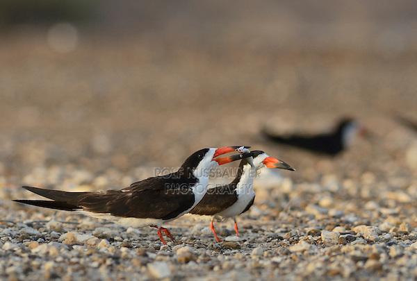 Black Skimmer (Rynchops niger), adult male feeding female, Port Isabel, Laguna Madre, South Padre Island, Texas, USA