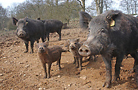 Wild Boar sows and piglets, Chipping, Lancashire.