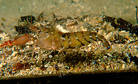 Snapping Shrimp, Alpheus parasocialis, A snapping shrimp inside a Coke bottle. Shrimp is carrying eggs, Moonta Bay, South Australia, Australia, Southern Ocean