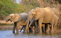 African bush elephant, Loxodonta africana, herd drinking at waterhole, Kruger National Park, South Africa, Africa