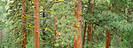 Ponderosa pines, Selkirk Mountains,  Idaho
