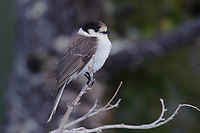 Adult Gray Jay (Perisoreus canadensis) of the Pacific subspecies P. c. obscurus. The shafts of this subspecies dorsal feathers are distinctly white. Pierce County, Washington. May