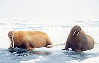 walrus, Odobenus rosmarus, pair of on the pack ice of the Bering sea Alaska, Arctic
