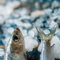 Gastronomie générale/Sardines // Sardines