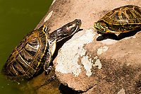 With tallons clawing at the rock, a red-eared slider strains to climb out of the koi pond and onto a rock where it eventually rests and warms in the sun.