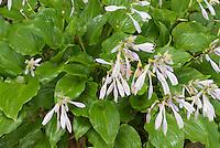 Hosta 'Invincible'' in bloom