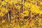 Fall colors in Denali National Park, Alaska, USA