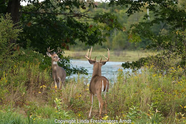 White-tailed bucks