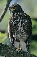 Harris's Hawk, Parabuteo unicinctus,immature, Santa Ana National Wildlife Refuge, Texas, USA, Dezember 2003