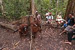 Bornean Orangutan (Pongo pygmaeus wurmbii) - Camp Leakey feeding platform with tourists getting close to orangutans.