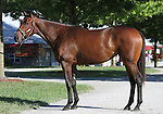Hip #45 Smart Strike - Untouched Talent filly at the  Keeneland September Yearling Sale.  September 9, 2012.