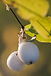 Snowberry, shrub with its white berries