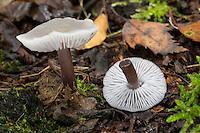 Gemeiner Rettich-Helmling, Lila Rettichhelmling, Helmling, Mycena pura, Prunulus purum, Lilac bonnet