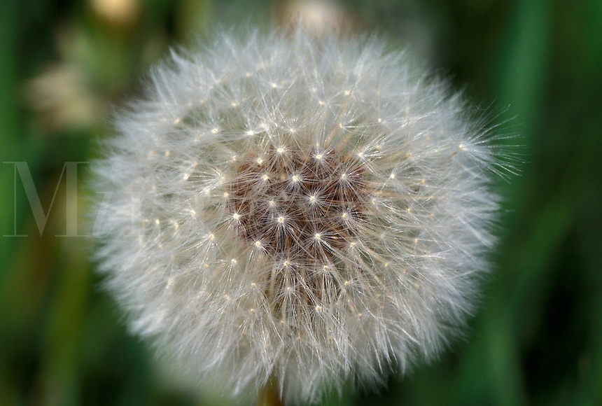 dandelion, spring, A dandelion puff ball.