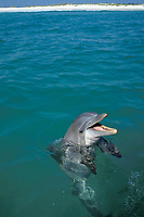 a wild bottlenose dolphin that has been conditioned to feed from boats begs next to a boat off Panama City, Florida (Gulf of Mexico), Tursiops truncatus