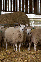 2-3-2021 Ewes waiting to lamb in a straw yard<br />  ©Tim Scrivener Photographer 07850 303986<br />      ....Covering Agriculture In The UK....