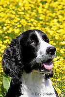 0730-0805  English Springer Spaniel in Buttercup Field, Canis lupus familiaris © David Kuhn/Dwight Kuhn Photography.