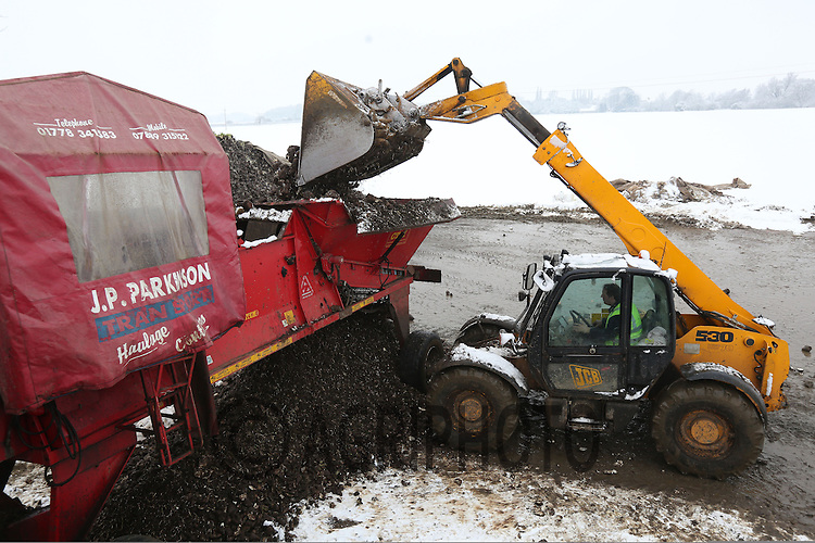 A haulage contractor loading sugar beet into a lorry ready for delivery to Wissington beet factory.Picture Tim Scrivener date taken 22nd January  2012.mobile 07850 303986 e-mail tim@agriphoto.com.....covering agriculture in the Uk....