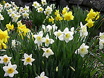 Daffodil Garden in New England, USA