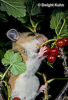 MU50-008z   White-Footed Mouse - eating berries -  Peromyscus leucopus
