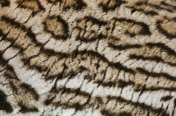 Ocelot, Felis pardalis, captive, close up of coat, Welder Wildlife Refuge, Sinton, Texas, USA, Oktober 2006