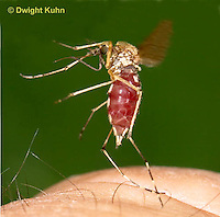 MQ02-660p  Mosquito Female flying from finger with blood meal, Ochlerotatus excrucians, Ades excrucians], Photograph altered