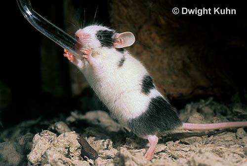 MU61-006z  Domestic Pet Mouse - drinking from water bottle