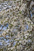 Kirschpflaume, Kirsch-Pflaume, Myrobalane, Türkenkirsche, Wildpflaume, Wildobst, Obst, Prunus cerasifera, Prunus cerasifera subsp. myrobalana, Prunus domestica var. myrobalan, Cherry Plum, Myrobalan Plum, Le Myrobolan, le Prunier-cerise, le Prunier myrobolan, le Myrobalan