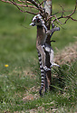 """16/05/16<br /> <br /> """"I can even hang on with my mouth!""""<br /> <br /> Three baby ring-tail lemurs began climbing lessons for the first time today. The four-week-old babies, born days apart from one another, were reluctant to leave their mothers' backs to start with but after encouragement from their doting parents they were soon scaling rocks and trees in their enclosure. One of the youngsters even swung from a branch one-handed, at Peak Wildlife Park in the Staffordshire Peak District. The lesson was brief and the adorable babies soon returned to their mums for snacks and cuddles in the sunshine.<br /> All Rights Reserved F Stop Press Ltd +44 (0)1335 418365"""