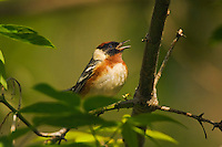 Bay-breasted Warbler (Dendroica castanea) male in breeding plumage calls while resting in mixed forest along Lake Erie shoreline near Canada and USA border during annual spring migration northward  to summer nesting grounds. About 79% of Bay-breasted Warblers in North America breed within Canada's boreal forest.