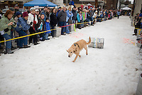 Ears a floppin' doggy runs down the track during the 2011 Doggy Keg Pull behind Eichardt's Pub in Sandpoint, Idaho. The local pub sponsored the event as part of the Winter Carnival.