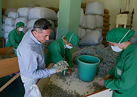 ALBANIA, Cape Rodonit, processing of herbal and medical plants at company Naturalba, sage / ALBANIEN, Kap Rodonit, Verarbeitung von Heil- und Gewuerzpflanzen bei Firma Naturalba, Sortierung von getrocknetem Salbei, Herr Sokol Proja