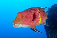 Bodianus diplotaenia, Mexikanischer Schweinslippfisch, Maennchen in der Therminal Phase, Mexican hogfish, Therminal phase, male, Insel Cocos, Costa Rica, Pazifik, Pazifischer Ozean, Cocos Island, Costa Rica, Pacific Ocean