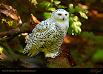 Snowy Owl Female, Arctic Owl, Great White Owl, Mount Ranier, Washington