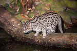 Adult Fishing Cat (Prionailurus viverrinus) hunting by water at night. From S.E. Asia. Photographed in captivity at Singapore Zoo.