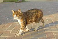 Manx cat on Isle of Man.