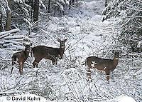 "1228-07mm  White-tailed Deer ""Small Herd in Winter"" - Odocoileus virginianus - © David Kuhn/Dwight Kuhn Photography."