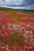 Alpine bearberry on the tundra, Denali National Park, Interior, Alaska.