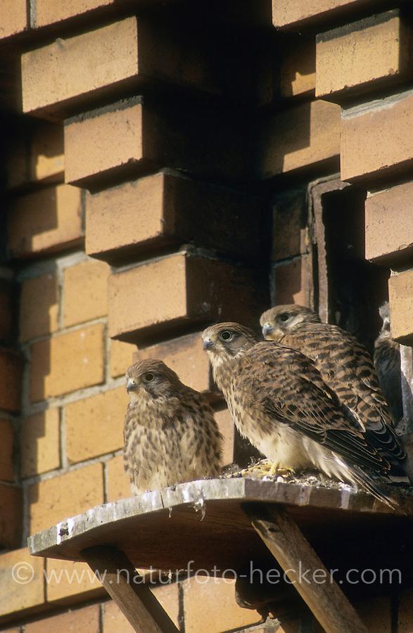 Turmfalke, flügge Jungvögel an Nisthilfe an Fassade, Turm-Falke, Falke, Falco tinnunculus, common kestrel