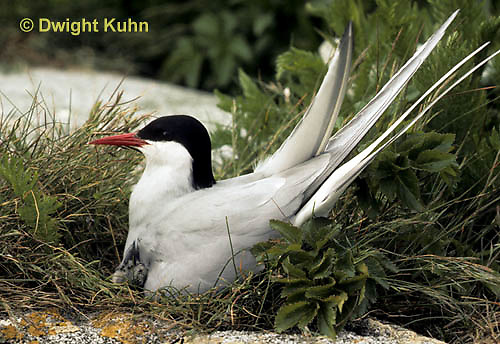 MC70-022z  Arctic Tern - adult at nest with chick, incubating - Machias Seal Island, Bay of Fundy - Sterna paradisaea