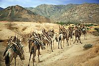 Eritrea. Anseba province. A column of camels, carrying wood on their backs, walks on a dirt road near the village of Gerdik. © 2006 Didier Ruef