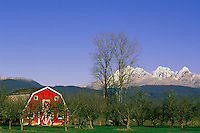 "Fraser Valley, Southwestern BC, British Columbia, Canada - Red Barn and Orchard on Farm, Snow Capped ""Golden Ears"" Mountains (Coast Mountains) in Golden Ears Provincial Park, Spring"