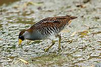 Sora breeding adult feeding at Port Aransas, TX Birding Center pond