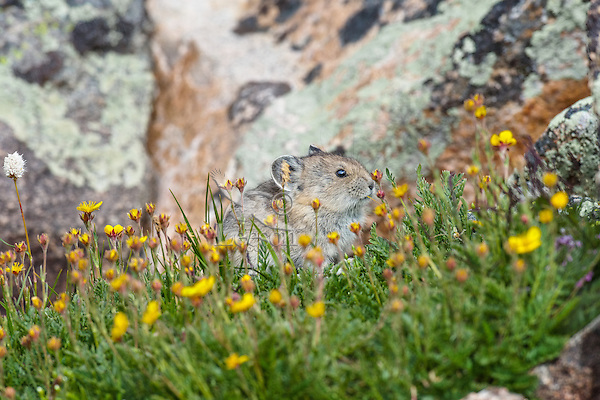 Young American pika (Ochotona princeps) by patch of cinquefoil and bistort wildflowers growing near its boulder field home.  Beartooth Mountains, Wyoming/Montana border.  Summer.  This photo was taken in alpine setting at around 11,000 feet (3350 meters) elevation.