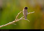 Say's Phoebe, Tyrant Flycatcher, Sepulveda Wildlife Refuge, Southern California