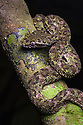 Eyelash Pit Viper {Bothriechis schlegelii} Osa Peninsula, Costa Rica, May.